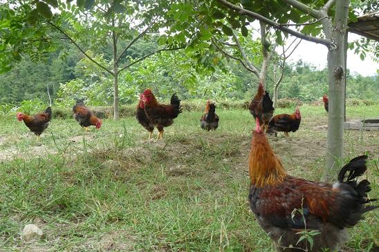 1、本地生态鸡.JPG
